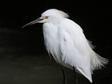 Snowy Egret by Phil Bearce