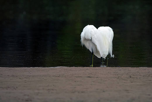 Snowy Egrets 7513-021418-1cr by Tam Ryan