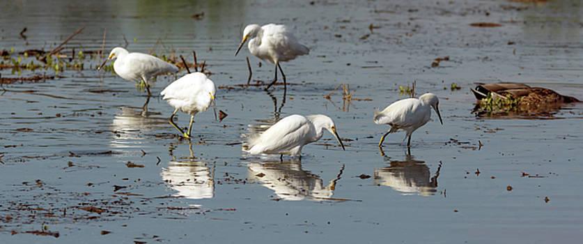 Snowy Egrets 7914-021818-1cr by Tam Ryan