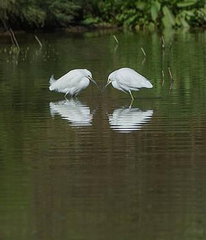 Snowy Egrets 9264-022118-2cr by Tam Ryan