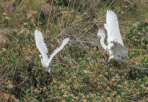 Snowy Egrets Behavior 9080-022118-1cr by Tam Ryan