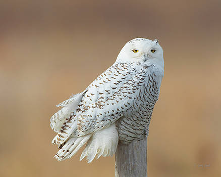 Snowy by Gerry Sibell