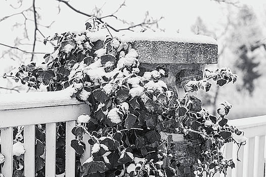 Snowy Ivy on Fence. Black and White by Jenny Rainbow
