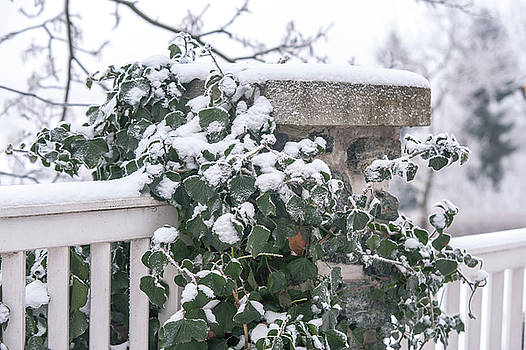 Snowy Ivy on Fence by Jenny Rainbow
