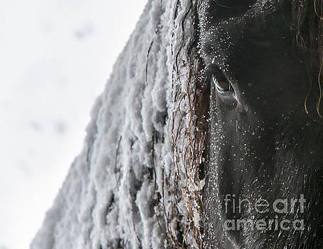 Snowy Mane by Lori Ann  Thwing