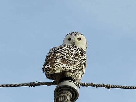 Snowy owl                        by Dennis McCarthy