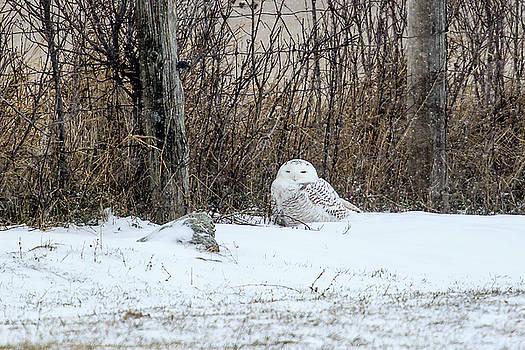 Gary Hall - Snowy Owl 3