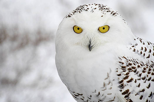 Snowy Owl by Angie Rea