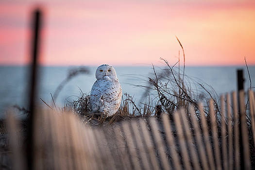 Snowy Owl At Sunset by Ryan Moore