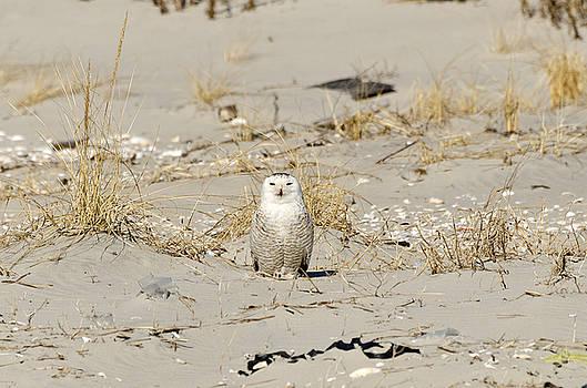 Snowy Owl Breezy Point by Maureen E Ritter