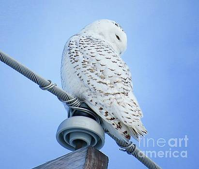 Snowy Owl by Brenda Ketch