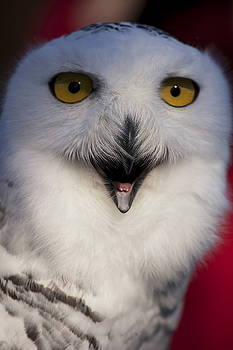 Snowy Owl by Christina Durity