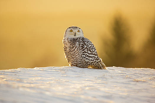 Snowy Owl by David Hare