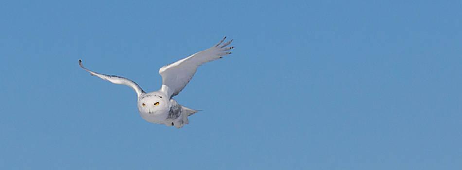 Dan Traun - Snowy Owl - Dive