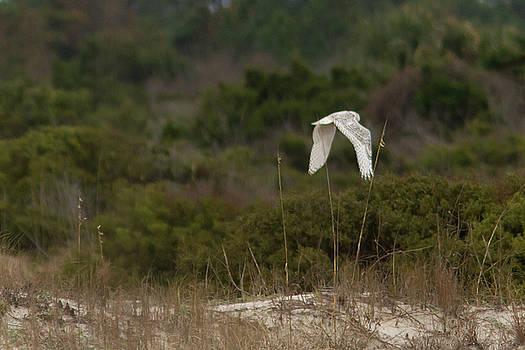 Paul Rebmann - Snowy Owl Dune Flight
