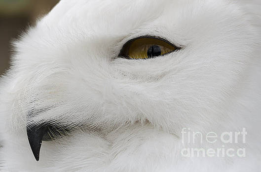 Snowy owl head by Steev Stamford