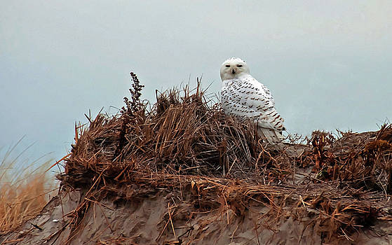 Snowy Owl in Dunes by Wayne Marshall Chase