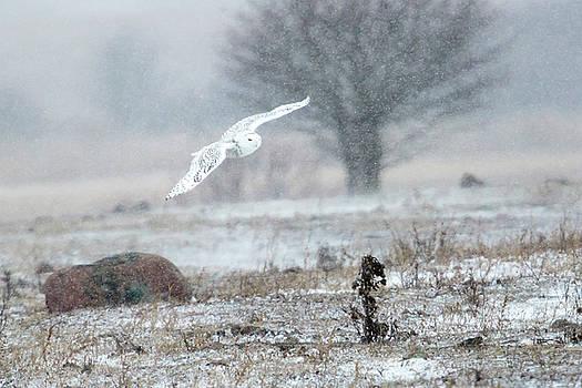 Gary Hall - Snowy Owl in Flight 2