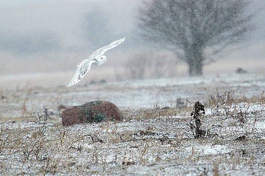 Gary Hall - Snowy Owl in Flight 3
