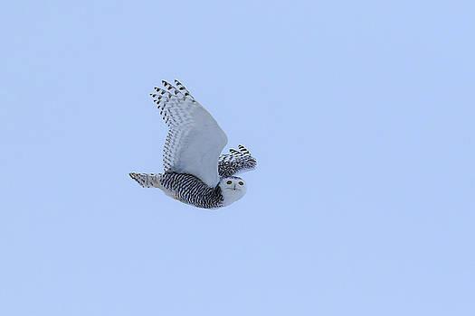 Gary Hall - Snowy Owl in Flight 4
