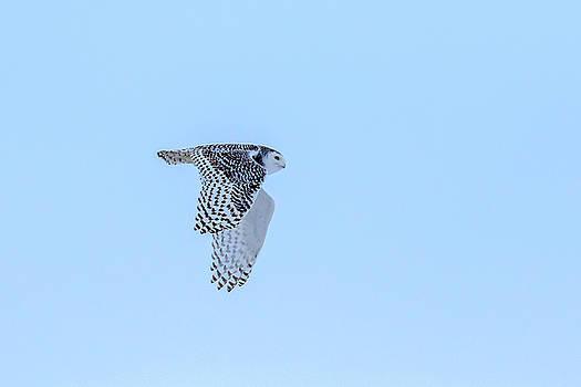 Gary Hall - Snowy Owl in Flight 5