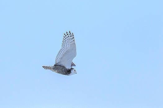Gary Hall - Snowy Owl in Flight 6