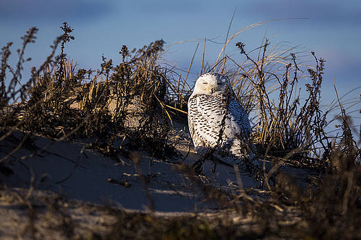 Snowy Owl Long Island 3 by Ryan Moore