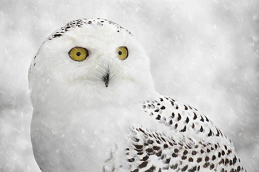 Snowy Owl on a Wintry Day by Angie Rea