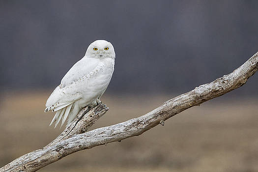Snowy Owl on Driftwood 1 by Christopher Ciccone