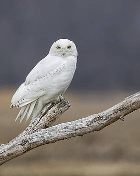 Snowy Owl on Driftwood 2 by Christopher Ciccone