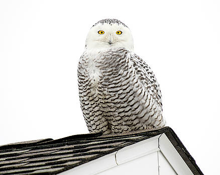Snowy Owl on Providence Rooftop by Peter Green