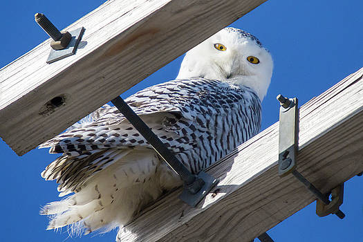 Snowy Owl on Telephone Pole in Providence by Peter Green