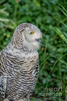 Patricia Hofmeester - Snowy Owl