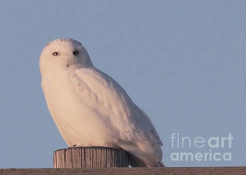 Snowy Owl by Paula Guttilla