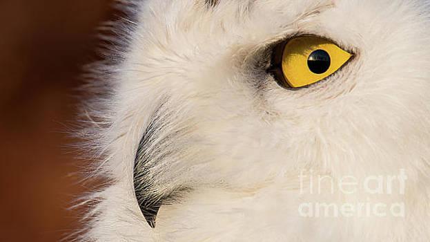 Snowy Owl Portrait by Eyeshine Photography
