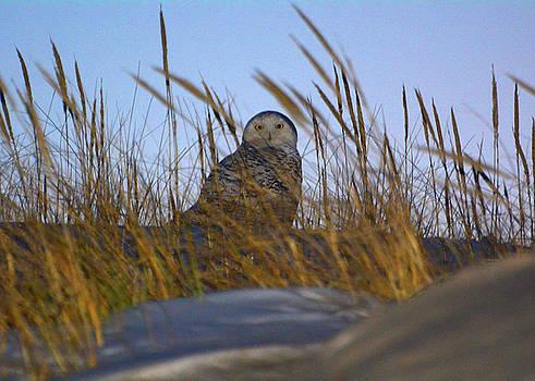 Snowy Owl by Raymond Salani III