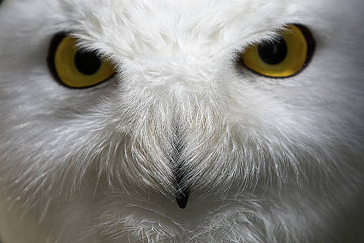 Snowy Owl Stare by Nathan Larson