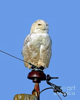 Snowy Owl by Sue Stefanowicz