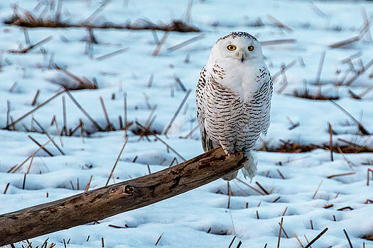 Snowy Owl, Sunset Blue Hour by Henry Gray