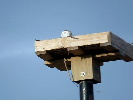 Snowy owl telephone pole box by Dennis McCarthy