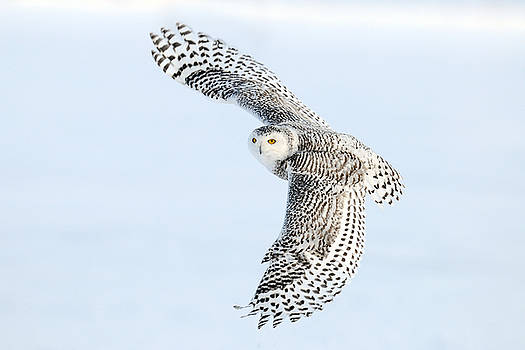 Snowy Owl Topside by Scott  Linstead