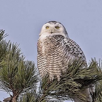 Snowy Owl by Winnie Chrzanowski