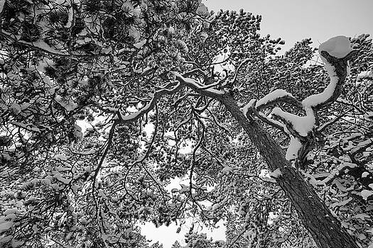 Snowy pine branches - monochrome by Ulrich Kunst And Bettina Scheidulin
