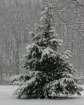 Snowy Pine by Carla Neufeld