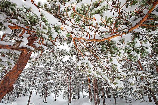 Snowy pine forest by Ulrich Kunst And Bettina Scheidulin