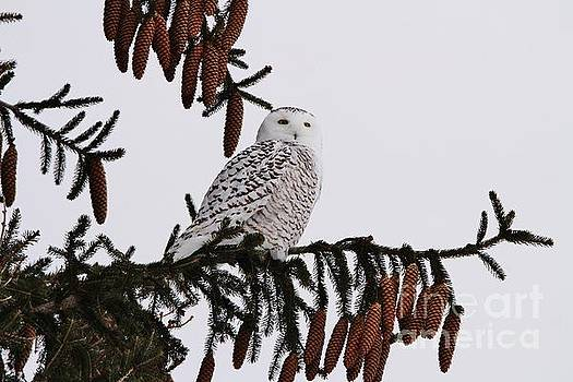 Snowy Pine by Teresa McGill