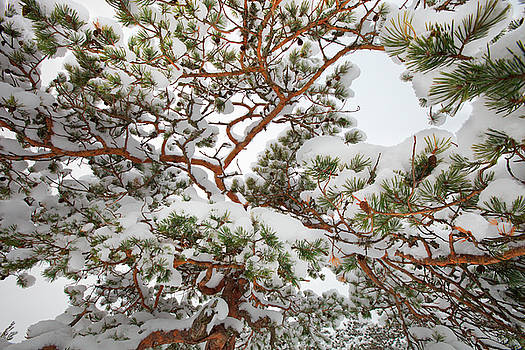 Snowy pine tree pattern by Ulrich Kunst And Bettina Scheidulin