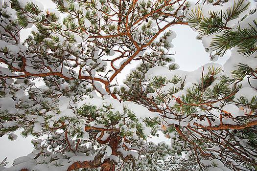 Snowy pine tree pattern by Ulrich Kunst And Bettina Scheidulin