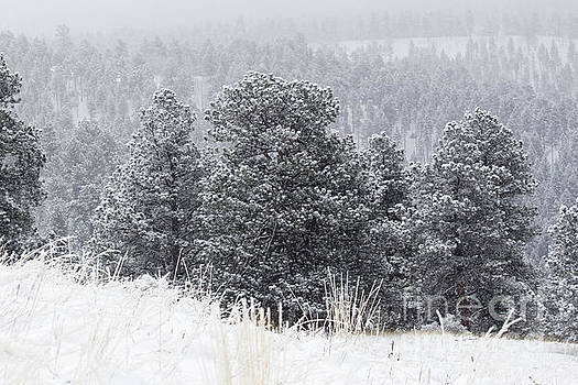 Steve Krull - Snowy Pines in the Pike National Forest