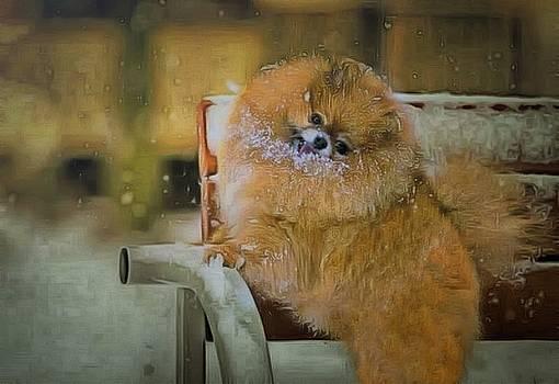 Snowy Pomeranian  by Janice MacLellan